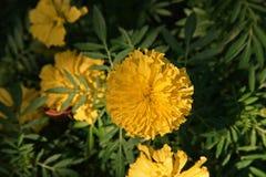 Flores de la maravilla, color de oro Foto de archivo