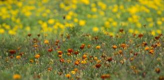 Flores de la maravilla en el campo Fotografía de archivo libre de regalías