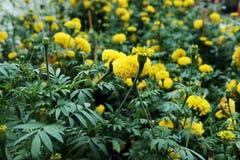 Flores de la maravilla en el jardín Foto de archivo libre de regalías