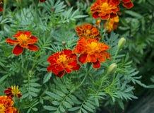 Flores de la maravilla en el parque Imagen de archivo