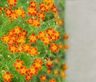 Flores de la maravilla en la cama de flor Fotografía de archivo libre de regalías