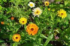Flores de la maravilla (lat Officinalis del Calendula) en la cama de flor Imágenes de archivo libres de regalías