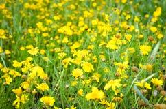 Flores de la maravilla de maíz durante la primavera imágenes de archivo libres de regalías