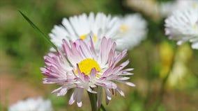 Flores de la margarita metrajes