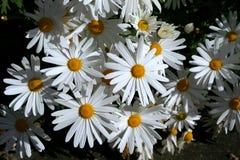 Flores de la margarita blanca Imagen de archivo libre de regalías