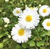 Flores de la margarita blanca foto de archivo libre de regalías