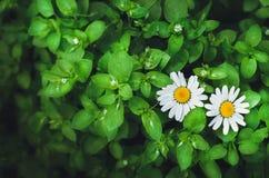Flores de la margarita blanca Imagen de archivo
