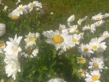 Flores de la margarita blanca con descensos del agua Campo de flor, hierba verde y hojas Fotos de archivo