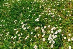 Flores de la margarita blanca en una hierba verde Imagen de archivo