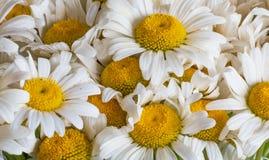 Flores de la margarita blanca Primavera Fotografía de archivo