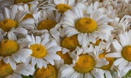 Flores de la margarita blanca Primavera Imagen de archivo