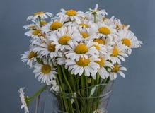 Flores de la margarita blanca Primavera Foto de archivo libre de regalías