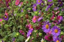 Flores de la margarita con las hojas Foto de archivo libre de regalías