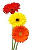 Flores de la margarita de Gerber aisladas en blanco Foto de archivo libre de regalías