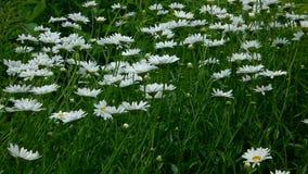 Flores de la margarita de Shasta metrajes