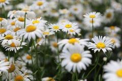 Flores de la margarita del campo foto de archivo libre de regalías