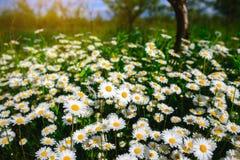 Flores de la margarita del foco selectivo - manzanilla salvaje Hierba verde y manzanillas en la naturaleza Fotografía de archivo libre de regalías