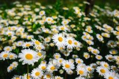Flores de la margarita del foco selectivo - manzanilla salvaje Hierba verde y manzanillas en la naturaleza Imagenes de archivo