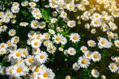 Flores de la margarita del foco selectivo - manzanilla salvaje Hierba verde y manzanillas en la naturaleza Imagen de archivo