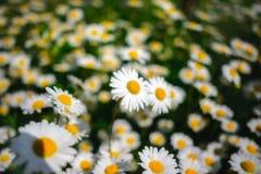 Flores de la margarita del foco selectivo - manzanilla salvaje Hierba verde y manzanillas en la naturaleza Fotografía de archivo