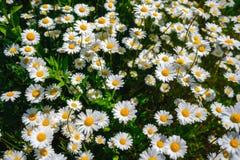 Flores de la margarita del foco selectivo - manzanilla salvaje Hierba verde y manzanillas en la naturaleza Foto de archivo libre de regalías