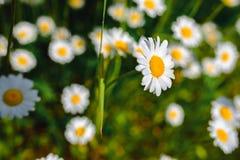 Flores de la margarita del foco selectivo - manzanilla salvaje Hierba verde y manzanillas en la naturaleza Fotos de archivo libres de regalías