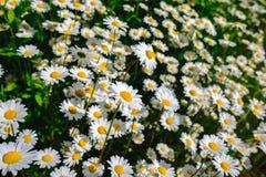 Flores de la margarita del foco selectivo - manzanilla salvaje Hierba verde y manzanillas en la naturaleza Foto de archivo