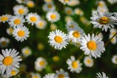 Flores de la margarita del foco selectivo - manzanilla salvaje Hierba verde y manzanillas en la naturaleza Imágenes de archivo libres de regalías