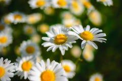 Flores de la margarita del foco selectivo - manzanilla salvaje Hierba verde y manzanillas en la naturaleza Imagen de archivo libre de regalías