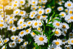 Flores de la margarita del foco selectivo - manzanilla salvaje Hierba verde y manzanillas en la naturaleza Fotos de archivo
