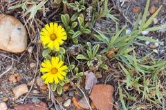 Flores de la margarita del mar Fotos de archivo libres de regalías