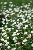 Flores de la margarita en el campo Imágenes de archivo libres de regalías