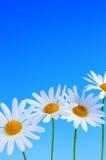 Flores de la margarita en fondo azul Imagen de archivo libre de regalías