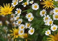 Flores de la margarita en jardín Imagenes de archivo