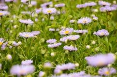 Flores de la margarita en primavera en la oscuridad Imagen de archivo
