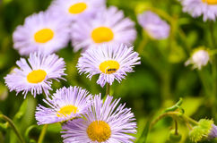 Flores de la margarita en primavera en la oscuridad Imagenes de archivo