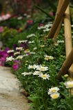 Flores de la margarita en racimos Fotografía de archivo libre de regalías