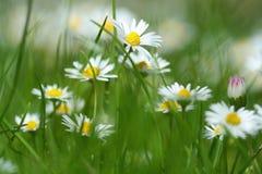 Flores de la margarita en resorte Foto de archivo libre de regalías
