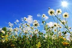 Flores de la margarita en verano Foto de archivo