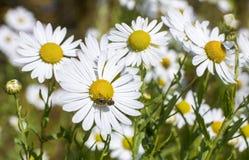 Flores de la margarita y la abeja Fotos de archivo libres de regalías
