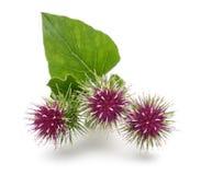 Flores de la mayor bardana Imagen de archivo