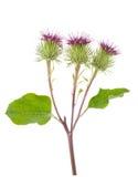 Flores de la mayor bardana Fotos de archivo libres de regalías