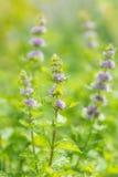 Flores de la menta fresca en jardín Imágenes de archivo libres de regalías