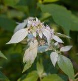 Flores de la menta de montaña Foto de archivo libre de regalías