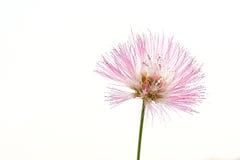 Flores de la mimosa Fotos de archivo libres de regalías