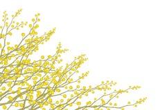 Flores de la mimosa del vector aisladas. ilustración del vector