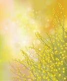 Flores de la mimosa del vector en fondo de la primavera. ilustración del vector