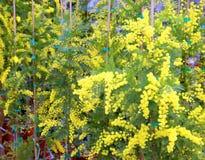 Flores de la mimosa para el día internacional de las mujeres s Foto de archivo libre de regalías