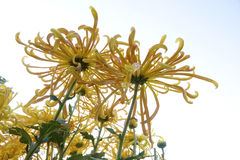 Flores de la momia Imagenes de archivo