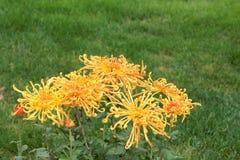 Flores de la momia Imagen de archivo